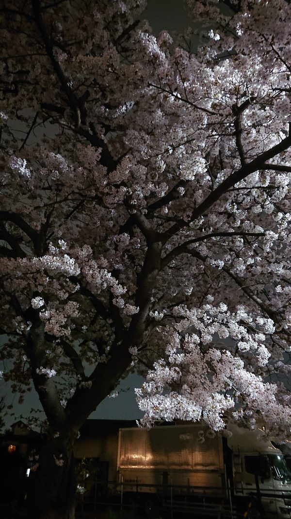 桜(江戸川区一之江7丁目 事務所のそば)